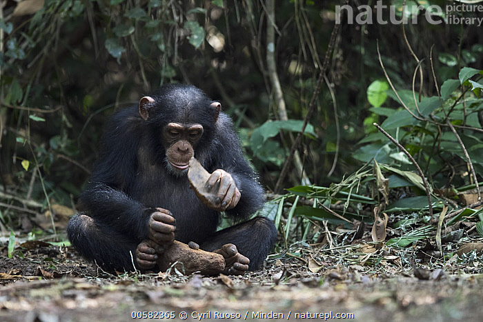 Chimpanzee (Pan troglodytes) using stone tool to crack nuts, Bossou, Guinea. Sequence 2 of 3, Adult, Bossou, Breaking, Chimpanzee, Color Image, Day, Endangered Species, Front View, Full Length, Guinea, Horizontal, Intelligence, Nobody, Nut, One Animal, Outdoors, Pan troglodytes, Photography, Sequence, Stone, Tool Use, Wildlife,Chimpanzee,Guinea, Cyril Ruoso