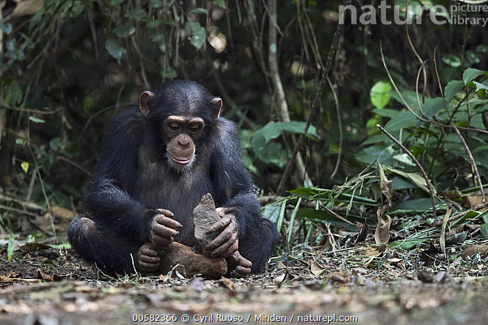 Chimpanzee (Pan troglodytes) using stone tool to crack nuts, Bossou, Guinea. Sequence 3 of 3, Adult, Bossou, Breaking, Chimpanzee, Color Image, Day, Endangered Species, Front View, Full Length, Guinea, Horizontal, Intelligence, Nobody, Nut, One Animal, Outdoors, Pan troglodytes, Photography, Sequence, Stone, Tool Use, Wildlife,Chimpanzee,Guinea, Cyril Ruoso
