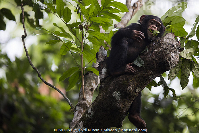 Chimpanzee (Pan troglodytes) five year old juvenile male named Fanwwaa using chewed up leaves as a sponge, to retain water to drink, Bossou, Guinea. Sequence 1 of 2, Arboreal, Bossou, Chewing, Chimpanzee, Color Image, Day, Drinking, Endangered Species, Full Length, Guinea, Horizontal, Juvenile, Low Angle View, Male, Nobody, One Animal, Outdoors, Pan troglodytes, Photography, Sequence, Side View, Sponge, Tool Use, Wildlife,Chimpanzee,Guinea, Cyril Ruoso