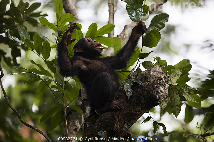 Chimpanzee (Pan troglodytes) five year old juvenile male named Fanwwaa using leaves as spoon to scoop water from tree cavity, Bossou, Guinea. Sequence 2 of 4  ,  Arboreal, Bossou, Chimpanzee, Color Image, Day, Drinking, Endangered Species, Full Length, Guinea, Horizontal, Juvenile, Low Angle View, Male, Nobody, One Animal, Outdoors, Pan troglodytes, Photography, Sequence, Side View, Spoon, Tool Use, Wildlife,Chimpanzee,Guinea  ,  Cyril Ruoso