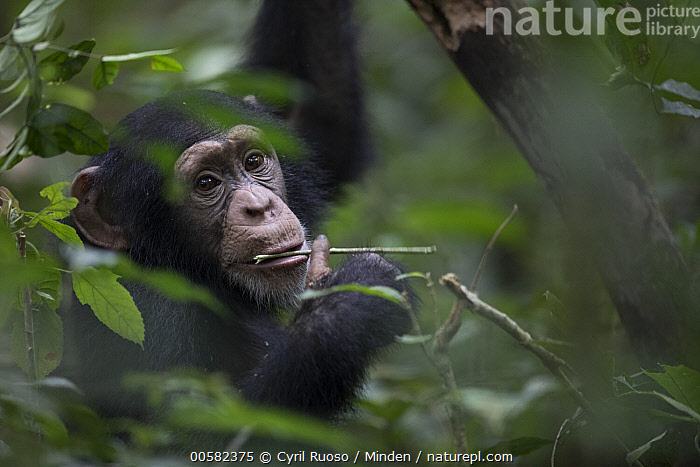 Chimpanzee (Pan troglodytes) using stick to forage for prey in small tree cavity, Bossou, Guinea, Adult, Bossou, Chimpanzee, Color Image, Day, Endangered Species, Feeding, Guinea, Head and Shoulders, Horizontal, Intelligence, Looking at Camera, Nobody, One Animal, Outdoors, Pan troglodytes, Photography, Portrait, Profile, Side View, Termite Fishing, Tool Use, Wildlife,Chimpanzee,Guinea, Cyril Ruoso