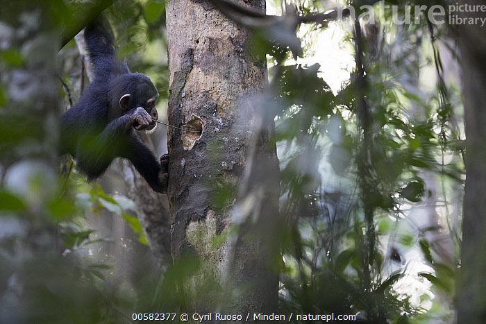 Chimpanzee (Pan troglodytes) using stick to forage for prey in small tree cavity, Bossou, Guinea, Adult, Arboreal, Bossou, Chimpanzee, Color Image, Day, Endangered Species, Foraging, Guinea, Horizontal, Intelligence, Nobody, One Animal, Outdoors, Pan troglodytes, Photography, Side View, Termite Fishing, Three Quarter Length, Tool Use, Wildlife,Chimpanzee,Guinea, Cyril Ruoso