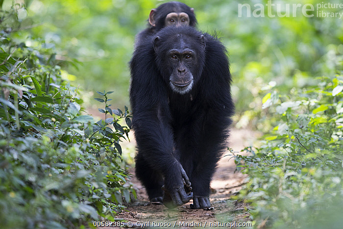 Chimpanzee (Pan troglodytes) five year old juvenile male named Fanwwaa being carried by his mother named Fanle, Bossou, Guinea  ,  Adult, Approaching, Baby, Bossou, Carrying, Chimpanzee, Color Image, Day, Endangered Species, Female, Front View, Full Length, Guinea, Horizontal, Juvenile, Knucklewalking, Looking at Camera, Male, Mother, Nobody, Outdoors, Pan troglodytes, Parent, Parenting, Photography, Riding, Trail, Two Animals, Wildlife, Young,Chimpanzee,Guinea  ,  Cyril Ruoso