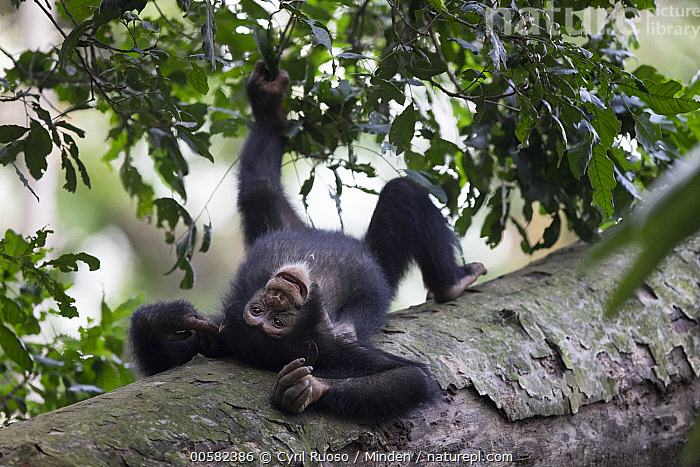 Chimpanzee (Pan troglodytes) five year old juvenile male named Fanwwaa laying on log, Bossou, Guinea, Arboreal, Bossou, Chimpanzee, Color Image, Day, Endangered Species, Front View, Full Length, Guinea, Horizontal, Juvenile, Male, Nobody, One Animal, Outdoors, Pan troglodytes, Photography, Reclining, Upside Down, Wildlife,Chimpanzee,Guinea, Cyril Ruoso