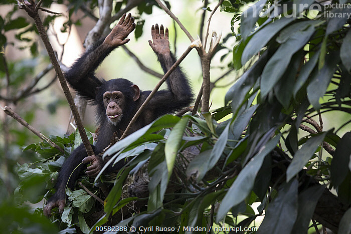 Chimpanzee (Pan troglodytes) five year old juvenile male named Fanwwaa drumming on branch in nest, Bossou, Guinea  ,  Arboreal, Bossou, Chimpanzee, Color Image, Day, Drumming, Endangered Species, Full Length, Guinea, Horizontal, Juvenile, Male, Nest, Nobody, One Animal, Outdoors, Pan troglodytes, Photography, Side View, Wildlife,Chimpanzee,Guinea  ,  Cyril Ruoso