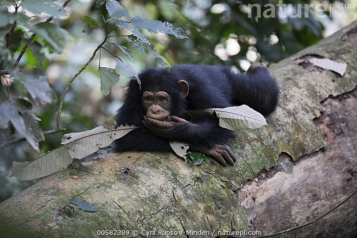 Chimpanzee (Pan troglodytes) five year old juvenile male named Fanwwaa, Bossou, Guinea  ,  Arboreal, Bossou, Chimpanzee, Color Image, Day, Endangered Species, Full Length, Guinea, Horizontal, Juvenile, Male, Nobody, One Animal, Outdoors, Pan troglodytes, Photography, Side View, Wildlife,Chimpanzee,Guinea  ,  Cyril Ruoso
