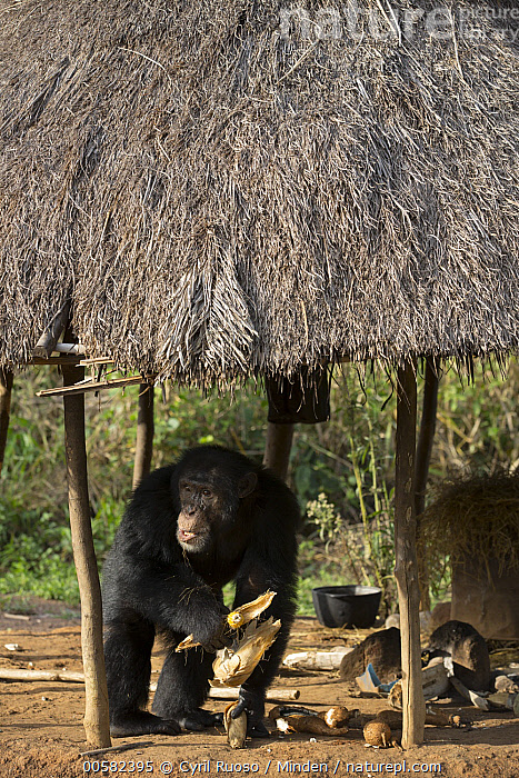 Chimpanzee (Pan troglodytes) male named Jeje stealing corn from hut, Bossou, Guinea, Adult, Bossou, Chimpanzee, Color Image, Corn, Day, Encroaching, Endangered Species, Environmental Issue, Feeding, Front View, Full Length, Guinea, Habitat Loss, Hut, Male, Nobody, One Animal, Outdoors, Pan troglodytes, Photography, Stealing, Vertical, Wildlife,Chimpanzee,Guinea, Cyril Ruoso