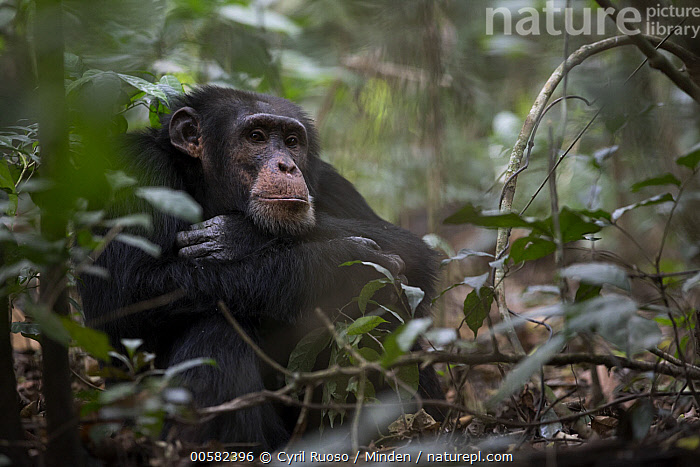 Chimpanzee (Pan troglodytes) male named Jeje, Bossou, Guinea  ,  Adult, Bossou, Chimpanzee, Color Image, Day, Endangered Species, Guinea, Horizontal, Male, Nobody, One Animal, Outdoors, Pan troglodytes, Photography, Side View, Three Quarter Length, Wildlife,Chimpanzee,Guinea  ,  Cyril Ruoso