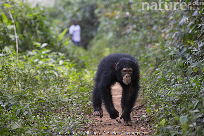 Chimpanzee (Pan troglodytes) five year old juvenile male named Fanwwaa running on path near person, Bossou, Guinea, African Descent, Approaching, Bossou, Chimpanzee, Color Image, Day, Endangered Species, Front View, Full Length, Guinea, Horizontal, Juvenile, Male, Man, One Animal, One Person, Outdoors, Pan troglodytes, Path, Photography, Running, Wildlife,Chimpanzee,Guinea, Cyril Ruoso