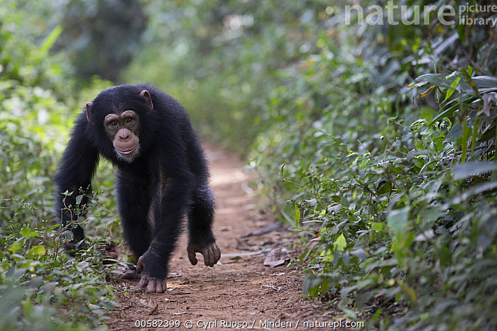 Chimpanzee (Pan troglodytes) five year old juvenile male named Fanwwaa running on path, Bossou, Guinea  ,  Approaching, Bossou, Chimpanzee, Color Image, Day, Endangered Species, Front View, Full Length, Guinea, Horizontal, Juvenile, Looking at Camera, Male, Nobody, One Animal, Outdoors, Pan troglodytes, Path, Photography, Running, Wildlife,Chimpanzee,Guinea  ,  Cyril Ruoso