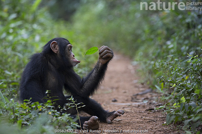 Chimpanzee (Pan troglodytes) five year old juvenile male named Fanwwaa holding leaf sitting along path, Bossou, Guinea, Bossou, Chimpanzee, Color Image, Curiosity, Curious, Day, Endangered Species, Full Length, Guinea, Horizontal, Juvenile, Leaf, Male, Nobody, One Animal, Outdoors, Pan troglodytes, Path, Photography, Side View, Wildlife,Chimpanzee,Guinea, Cyril Ruoso