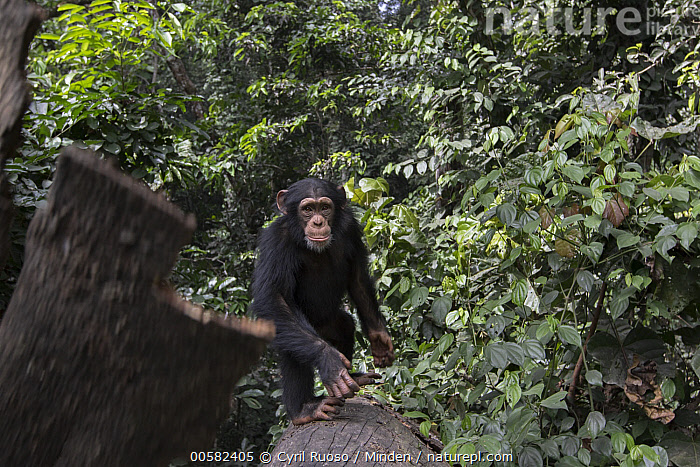 Chimpanzee (Pan troglodytes) five year old juvenile male named Fanwwaa throwing bark, Bossou, Guinea. Sequence 3 of 3  ,  Arboreal, Bark, Bossou, Chimpanzee, Color Image, Day, Defensive, Displaying, Endangered Species, Front View, Full Length, Guinea, Horizontal, Juvenile, Looking at Camera, Male, Nobody, One Animal, Outdoors, Pan troglodytes, Photography, Sequence, Throwing, Wildlife,Chimpanzee,Guinea  ,  Cyril Ruoso