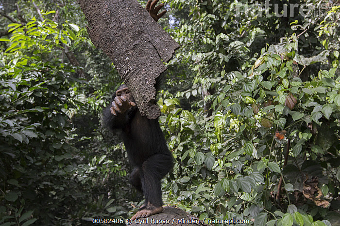 Chimpanzee (Pan troglodytes) five year old juvenile male named Fanwwaa throwing bark, Bossou, Guinea  ,  Arboreal, Bark, Bossou, Chimpanzee, Color Image, Day, Defensive, Displaying, Endangered Species, Front View, Full Length, Guinea, Horizontal, Juvenile, Looking at Camera, Male, Nobody, One Animal, Outdoors, Pan troglodytes, Photography, Throwing, Wildlife,Chimpanzee,Guinea  ,  Cyril Ruoso