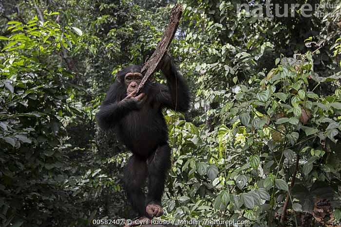 Chimpanzee (Pan troglodytes) five year old juvenile male named Fanwwaa throwing bark, Bossou, Guinea, Arboreal, Bark, Bossou, Chimpanzee, Color Image, Day, Defensive, Displaying, Endangered Species, Front View, Full Length, Guinea, Horizontal, Juvenile, Looking at Camera, Male, Nobody, One Animal, Outdoors, Pan troglodytes, Photography, Throwing, Wildlife,Chimpanzee,Guinea, Cyril Ruoso
