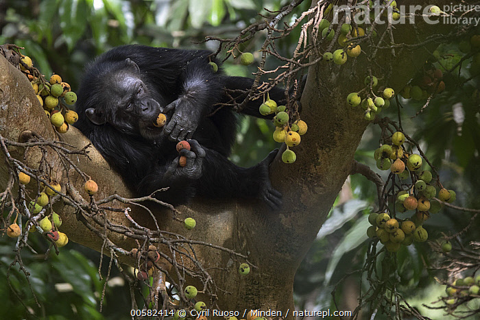 Chimpanzee (Pan troglodytes) female named Jire feeding on fruit, Bossou, Guinea  ,  Adult, Arboreal, Bossou, Chimpanzee, Color Image, Day, Endangered Species, Feeding, Female, Fruit, Full Length, Guinea, Horizontal, Nobody, One Animal, Outdoors, Pan troglodytes, Photography, Side View, Wildlife,Chimpanzee,Guinea  ,  Cyril Ruoso
