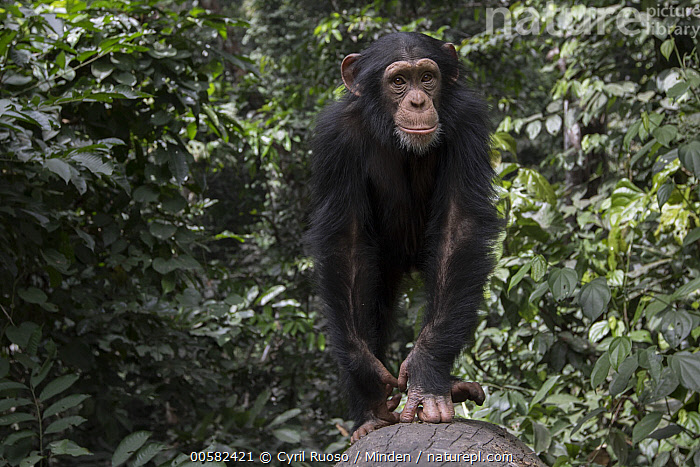 Chimpanzee (Pan troglodytes) five year old juvenile male named Fanwwaa, Bossou, Guinea, Arboreal, Bossou, Chimpanzee, Color Image, Day, Endangered Species, Front View, Full Length, Guinea, Horizontal, Juvenile, Looking at Camera, Male, Nobody, One Animal, Outdoors, Pan troglodytes, Photography, Wildlife,Chimpanzee,Guinea, Cyril Ruoso