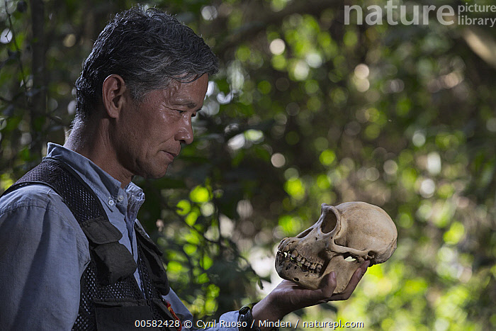 Chimpanzee (Pan troglodytes) biologist, Professor Matsuzawa, holding skull, Bossou, Guinea, Adult, Asian Ethnicity, Biologist, Bossou, Chimpanzee, Color Image, Day, Endangered Species, Guinea, Head and Shoulders, Horizontal, Male, Man, Mature Adult, One Object, One Person, Outdoors, Pan troglodytes, Photography, Portrait, Profile, Professor Matsuzawa, Research, Researcher, Side View, Skull, Wildlife,Chimpanzee,Guinea, Cyril Ruoso