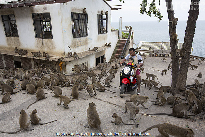 Long-tailed Macaque (Macaca fascicularis) troop at temple in city, Thailand, Adult, Building, City, Color Image, Day, Full Length, Horizontal, Large Group of Animals, Long-tailed Macaque, Macaca fascicularis, Male, Man, Outdoors, Photography, Side View, Temple, Thailand, Troop, Two People, Urban, Wildlife,Long-tailed Macaque,Thailand, Cyril Ruoso
