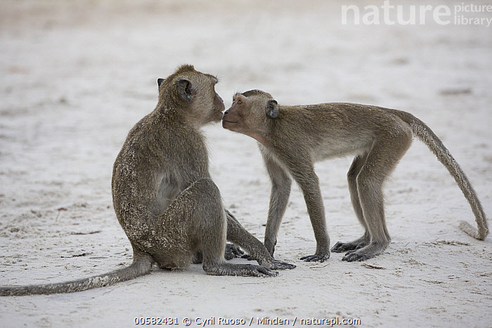 Long-tailed Macaque (Macaca fascicularis) pair playing on beach, Thailand  ,  Adult, Affection, Beach, Color Image, Day, Horizontal, Interacting, Long-tailed Macaque, Macaca fascicularis, Nobody, Outdoors, Photography, Playing, Side View, Tenderness, Thailand, Three Quarter Length, Two Animals, Wildlife,Long-tailed Macaque,Thailand  ,  Cyril Ruoso