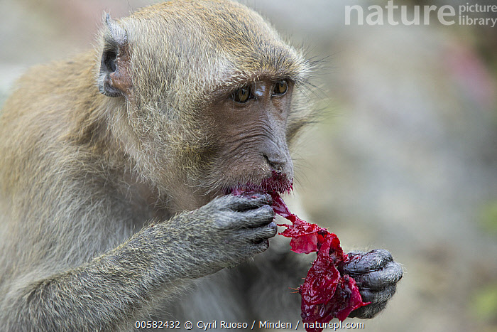 Long-tailed Macaque (Macaca fascicularis) feeding on Opuntia (Opuntia sp) cactus, Thailand  ,  Adult, Cactus, Color Image, Day, Feeding, Horizontal, Long-tailed Macaque, Macaca fascicularis, Nobody, One Animal, Opuntia, Opuntia sp, Outdoors, Photography, Predator, Prey, Side View, Thailand, Waist Up, Wildlife,Long-tailed Macaque,Opuntia,Opuntia sp,Thailand  ,  Cyril Ruoso