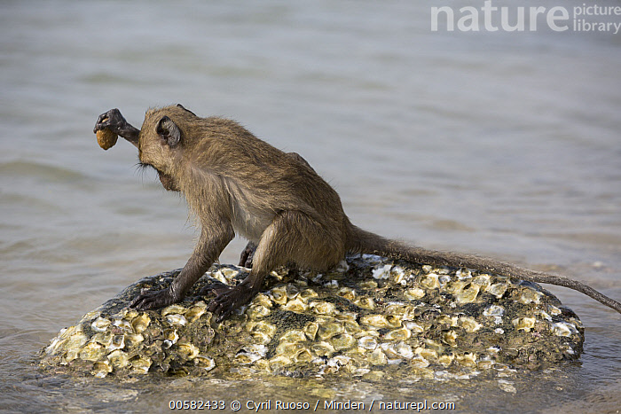Long-tailed Macaque (Macaca fascicularis) using stone tool to break shell, Khao Sam Roi Yot National Park, Thailand  ,  Adult, Breaking, Color Image, Day, Full Length, Horizontal, Intelligence, Intertidal, Khao Sam Roi Yot National Park, Long-tailed Macaque, Macaca fascicularis, Nobody, One Animal, Outdoors, Photography, Predating, Predator, Prey, Shell, Side View, Stone, Thailand, Tool Use, Wildlife,Long-tailed Macaque,Thailand  ,  Cyril Ruoso