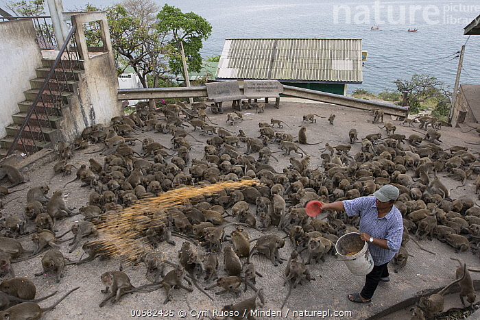 Long-tailed Macaque (Macaca fascicularis) troop being fed by man in city, Thailand  ,  Adult, Asian Ethnicity, City, Color Image, Day, Feeding, Full Length, High Angle View, Horizontal, Large Group of Animals, Long-tailed Macaque, Macaca fascicularis, Male, Man, One Person, Outdoors, Photography, Side View, Thailand, Troop, Urban, Wildlife,Long-tailed Macaque,Thailand  ,  Cyril Ruoso