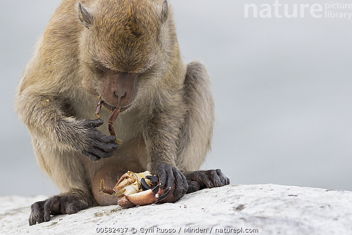 Long-tailed Macaque (Macaca fascicularis) feeding on crab, Khao Sam Roi Yot National Park, Thailand  ,  Adult, Color Image, Crab, Day, Feeding, Front View, Horizontal, Khao Sam Roi Yot National Park, Long-tailed Macaque, Macaca fascicularis, Nobody, One Animal, Outdoors, Photography, Predator, Prey, Thailand, Three Quarter Length, Wildlife,Long-tailed Macaque,Thailand  ,  Cyril Ruoso
