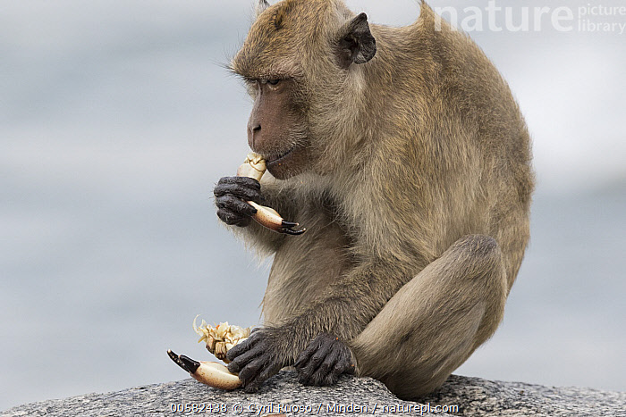 Long-tailed Macaque (Macaca fascicularis) feeding on crab, Khao Sam Roi Yot National Park, Thailand  ,  Adult, Color Image, Crab, Day, Feeding, Horizontal, Khao Sam Roi Yot National Park, Long-tailed Macaque, Macaca fascicularis, Nobody, One Animal, Outdoors, Photography, Predator, Prey, Side View, Thailand, Three Quarter Length, Wildlife,Long-tailed Macaque,Thailand  ,  Cyril Ruoso