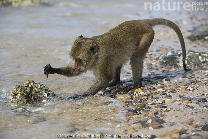 Long-tailed Macaque (Macaca fascicularis) using stone tool to break shell, Khao Sam Roi Yot National Park, Thailand, Adult, Beach, Breaking, Color Image, Day, Full Length, Horizontal, Intelligence, Intertidal, Khao Sam Roi Yot National Park, Long-tailed Macaque, Macaca fascicularis, Nobody, One Animal, Outdoors, Photography, Predating, Predator, Prey, Shell, Side View, Stone, Thailand, Tool Use, Wildlife,Long-tailed Macaque,Thailand, Cyril Ruoso
