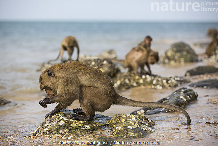 Long-tailed Macaque (Macaca fascicularis) using stone tool to break shell, Khao Sam Roi Yot National Park, Thailand  ,  Adult, Beach, Breaking, Color Image, Day, Five Animals, Full Length, Horizontal, Intelligence, Intertidal, Khao Sam Roi Yot National Park, Long-tailed Macaque, Macaca fascicularis, Nobody, Outdoors, Photography, Predating, Predator, Prey, Shell, Side View, Stone, Thailand, Tool Use, Troop, Wildlife  ,  Cyril Ruoso