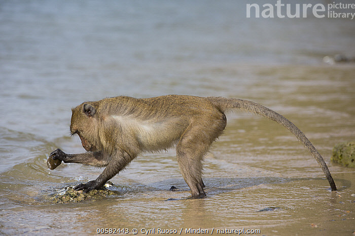 Long-tailed Macaque (Macaca fascicularis) using stone tool to break shell, Khao Sam Roi Yot National Park, Thailand  ,  Adult, Beach, Breaking, Color Image, Day, Full Length, Horizontal, Intelligence, Intertidal, Khao Sam Roi Yot National Park, Long-tailed Macaque, Macaca fascicularis, Nobody, One Animal, Outdoors, Photography, Predating, Predator, Prey, Shell, Side View, Stone, Thailand, Tool Use, Wildlife,Long-tailed Macaque,Thailand  ,  Cyril Ruoso