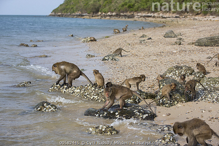 Long-tailed Macaque (Macaca fascicularis) troop foraging in intertidal zone, Khao Sam Roi Yot National Park, Thailand  ,  Adult, Animal in Habitat, Beach, Coast, Color Image, Day, Foraging, Full Length, Horizontal, Intelligence, Intertidal, Khao Sam Roi Yot National Park, Large Group of Animals, Long-tailed Macaque, Macaca fascicularis, Nobody, Outdoors, Photography, Side View, Thailand, Troop, Wildlife,Long-tailed Macaque,Thailand  ,  Cyril Ruoso