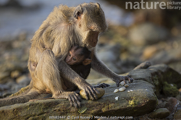 Long-tailed Macaque (Macaca fascicularis) mother with young using stone tool to break shell, Khao Sam Roi Yot National Park, Thailand. Sequence 2 of 4, Adult, Baby, Breaking, Color Image, Day, Female, Full Length, Horizontal, Intelligence, Intertidal, Khao Sam Roi Yot National Park, Long-tailed Macaque, Macaca fascicularis, Mother, Nobody, Outdoors, Parent, Photography, Predating, Predator, Prey, Sequence, Shell, Side View, Stone, Thailand, Tool Use, Two Animals, Wildlife, Young,Long-tailed Macaque,Thailand, Cyril Ruoso