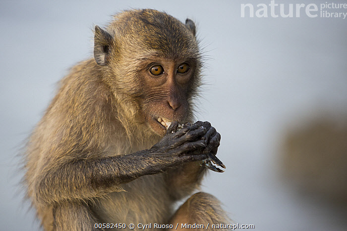 Long-tailed Macaque (Macaca fascicularis) feeding on crab, Khao Sam Roi Yot National Park, Thailand  ,  Adult, Color Image, Crab, Day, Feeding, Horizontal, Khao Sam Roi Yot National Park, Long-tailed Macaque, Macaca fascicularis, Nobody, One Animal, Outdoors, Photography, Predator, Prey, Side View, Thailand, Waist Up, Wildlife,Long-tailed Macaque,Thailand  ,  Cyril Ruoso