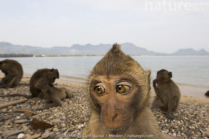Long-tailed Macaque (Macaca fascicularis) troop on beach, Khao Sam Roi Yot National Park, Thailand, Adult, Animal in Habitat, Beach, Color Image, Day, Four Animals, Front View, Head and Shoulders, Horizontal, Khao Sam Roi Yot National Park, Long-tailed Macaque, Macaca fascicularis, Nobody, Outdoors, Photography, Portrait, Selfie, Side View, Thailand, Troop, Wide-angle Lens, Wildlife,Long-tailed Macaque,Thailand, Cyril Ruoso