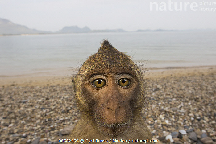 Long-tailed Macaque (Macaca fascicularis) on beach, Khao Sam Roi Yot National Park, Thailand, Adult, Beach, Color Image, Day, Front View, Head and Shoulders, Horizontal, Khao Sam Roi Yot National Park, Looking at Camera, Long-tailed Macaque, Macaca fascicularis, Nobody, One Animal, Outdoors, Photography, Portrait, Selfie, Thailand, Wide-angle Lens, Wildlife,Long-tailed Macaque,Thailand, Cyril Ruoso