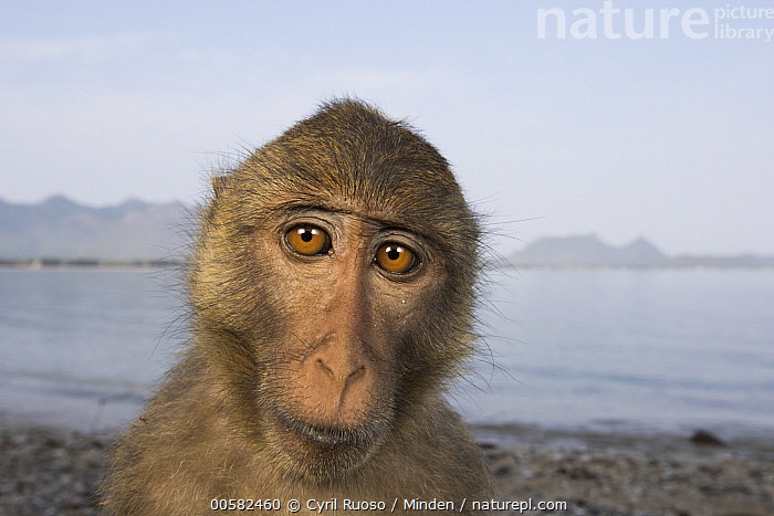Long-tailed Macaque (Macaca fascicularis), Khao Sam Roi Yot National Park, Thailand, Adult, Color Image, Day, Front View, Head and Shoulders, Horizontal, Khao Sam Roi Yot National Park, Looking at Camera, Long-tailed Macaque, Macaca fascicularis, Nobody, One Animal, Outdoors, Photography, Portrait, Selfie, Thailand, Wide-angle Lens, Wildlife,Long-tailed Macaque,Thailand, Cyril Ruoso