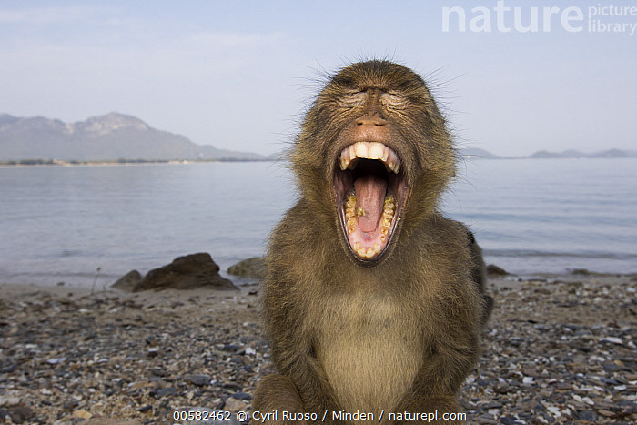 Long-tailed Macaque (Macaca fascicularis) juvenile yawning, Khao Sam Roi Yot National Park, Thailand, Adult, Beach, Color Image, Day, Front View, Horizontal, Humor, Juvenile, Khao Sam Roi Yot National Park, Long-tailed Macaque, Macaca fascicularis, Nobody, One Animal, Open Mouth, Outdoors, Photography, Selfie, Thailand, Waist Up, Wide-angle Lens, Wildlife, Yawning,Long-tailed Macaque,Thailand, Cyril Ruoso