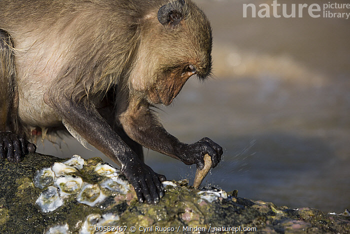 Long-tailed Macaque (Macaca fascicularis) using stone tool to break shell, Khao Sam Roi Yot National Park, Thailand, Adult, Breaking, Color Image, Day, Horizontal, Intelligence, Intertidal, Khao Sam Roi Yot National Park, Long-tailed Macaque, Macaca fascicularis, Nobody, One Animal, Outdoors, Photography, Predating, Predator, Prey, Shell, Side View, Stone, Thailand, Tool Use, Waist Up, Wildlife,Long-tailed Macaque,Thailand, Cyril Ruoso