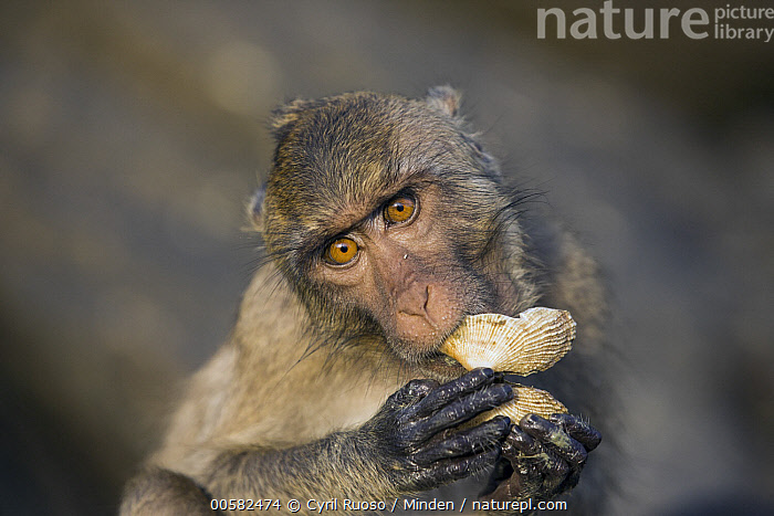 Long-tailed Macaque (Macaca fascicularis) feeding on mollusc, Khao Sam Roi Yot National Park, Thailand, Adult, Color Image, Day, Feeding, Front View, Horizontal, Khao Sam Roi Yot National Park, Looking at Camera, Long-tailed Macaque, Macaca fascicularis, Mollusc, Nobody, One Animal, Outdoors, Photography, Predator, Prey, Thailand, Waist Up, Wildlife,Long-tailed Macaque,Thailand, Cyril Ruoso