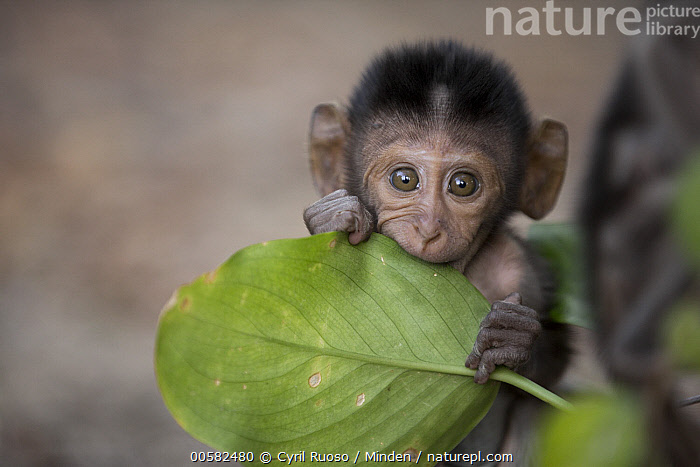 Long-tailed Macaque (Macaca fascicularis) young biting leaf, Khao Sam Roi Yot National Park, Thailand  ,  Baby, Biting, Color Image, Cute, Day, Front View, Horizontal, Khao Sam Roi Yot National Park, Leaf, Looking at Camera, Long-tailed Macaque, Macaca fascicularis, Nobody, One Animal, Outdoors, Photography, Thailand, Three Quarter Length, Wildlife, Young,Long-tailed Macaque,Thailand  ,  Cyril Ruoso