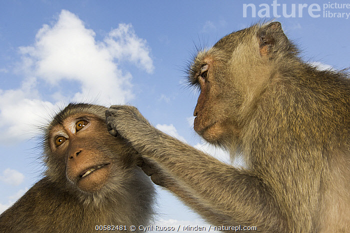 Long-tailed Macaque (Macaca fascicularis) pair grooming, Khao Sam Roi Yot National Park, Thailand, Adult, Bonding, Color Image, Day, Grooming, Head and Shoulders, Horizontal, Khao Sam Roi Yot National Park, Long-tailed Macaque, Low Angle View, Macaca fascicularis, Nobody, Outdoors, Photography, Side View, Thailand, Two Animals, Wide-angle Lens, Wildlife,Long-tailed Macaque,Thailand, Cyril Ruoso