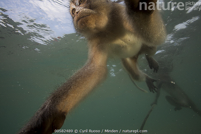 Long-tailed Macaque (Macaca fascicularis) pair looking underwater for food thrown by people, Thailand, Adult, Color Image, Day, Foraging, Front View, Horizontal, Long-tailed Macaque, Low Angle View, Macaca fascicularis, Nobody, Outdoors, Photography, Side View, Swimming, Thailand, Three Quarter Length, Two Animals, Underwater, Water, Wide-angle Lens, Wildlife,Long-tailed Macaque,Thailand, Cyril Ruoso