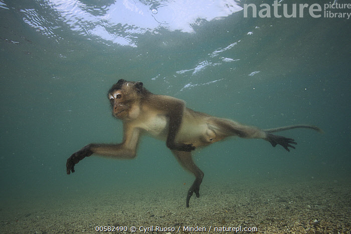 Long-tailed Macaque (Macaca fascicularis) looking underwater for food thrown by people, Thailand, Adult, Color Image, Day, Foraging, Full Length, Horizontal, Long-tailed Macaque, Macaca fascicularis, Nobody, One Animal, Outdoors, Photography, Side View, Swimming, Thailand, Underwater, Water, Wide-angle Lens, Wildlife,Long-tailed Macaque,Thailand, Cyril Ruoso