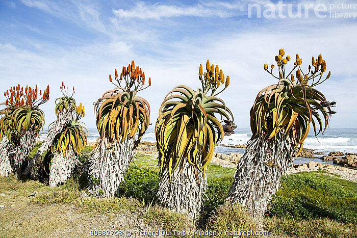 Aloe (Aloe sp) plants, Garden Route National Park, South Africa, Aloe, Aloe sp, Blue Sky, Color Image, Day, Garden Route National Park, Horizontal, Landscape, Nobody, Outdoors, Photography, Plant, South Africa,Aloe,South Africa, Richard Du Toit