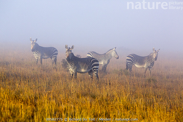 Mountain Zebra (Equus zebra) group in mist, Mountain Zebra National Park, South Africa  ,  Adult, Color Image, Day, Equus zebra, Four Animals, Full Length, Horizontal, Looking at Camera, Mist, Mountain Zebra, Mountain Zebra National Park, Nobody, Outdoors, Photography, Side View, South Africa, Threatened Species, Vulnerable Species, Wildlife,Mountain Zebra,South Africa  ,  Richard Du Toit