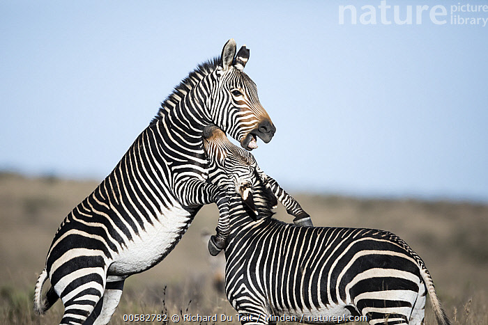Mountain Zebra (Equus zebra) stallions fighting, Mountain Zebra National Park, South Africa  ,  Adult, Color Image, Competition, Day, Equus zebra, Fighting, Horizontal, Kicking, Male, Mountain Zebra, Mountain Zebra National Park, Nobody, Outdoors, Photography, Side View, South Africa, Stallion, Threatened Species, Three Quarter Length, Two Animals, Vulnerable Species, Wildlife,Mountain Zebra,South Africa  ,  Richard Du Toit