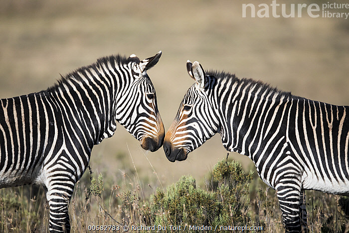 Mountain Zebra (Equus zebra) stallions fighting, Mountain Zebra National Park, South Africa  ,  Adult, Color Image, Competition, Day, Equus zebra, Facing, Fighting, Horizontal, Male, Mountain Zebra, Mountain Zebra National Park, Nobody, Outdoors, Photography, Side View, South Africa, Stallion, Threatened Species, Two Animals, Vulnerable Species, Waist Up, Wildlife,Mountain Zebra,South Africa  ,  Richard Du Toit