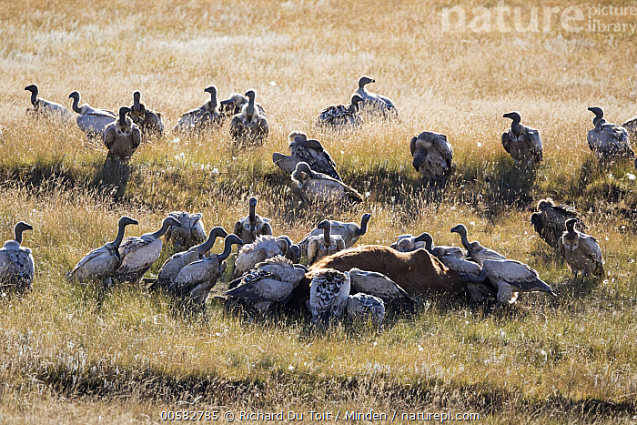 Cape Vulture (Gyps coprotheres) group feeding on Domestic Cattle (Bos taurus) carcass, Naude's Nek Pass, South Africa  ,  Adult, Bos taurus, Cape Vulture, Carcass, Color Image, Day, Dead, Death, Domestic Cattle, Feeding, Full Length, Gyps coprotheres, Horizontal, Large Group of Animals, Naude's Nek Pass, Nobody, Outdoors, Photography, Raptor, Scavenger, Scavenging, Side View, South Africa, Threatened Species, Vulnerable Species, Wildlife,Cape Vulture,Domestic Cattle,Bos taurus,South Africa  ,  Richard Du Toit
