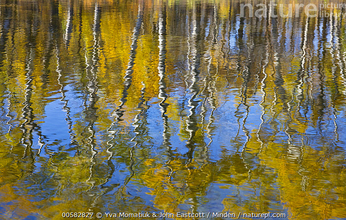 Paper Birch (Betula papyrifera) trees reflected in water, Hooker Lake, North Dakota  ,  Autumn, Betula papyrifera, Color Image, Day, Fall Colors, Hooker Lake, Horizontal, Landscape, Nobody, North Dakota, Outdoors, Paper Birch, Photography, Reflection, Tree, Water, Yellow,Paper Birch,North Dakota, USA  ,  Yva Momatiuk & John Eastcott